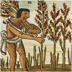 Cosecha prehispánica de huautli