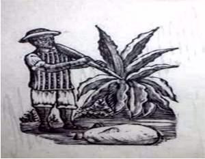 Agave y tlachiquero extrayendo el aguamiel (4)