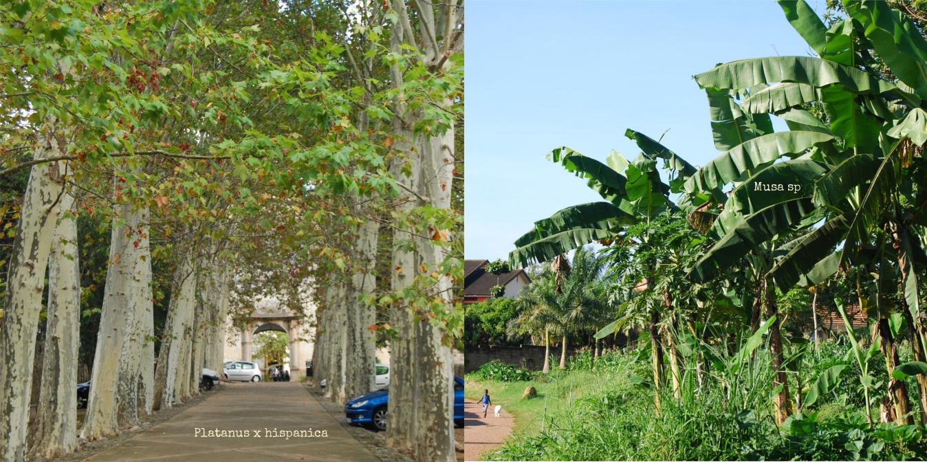 planatus-vs-musa-tree