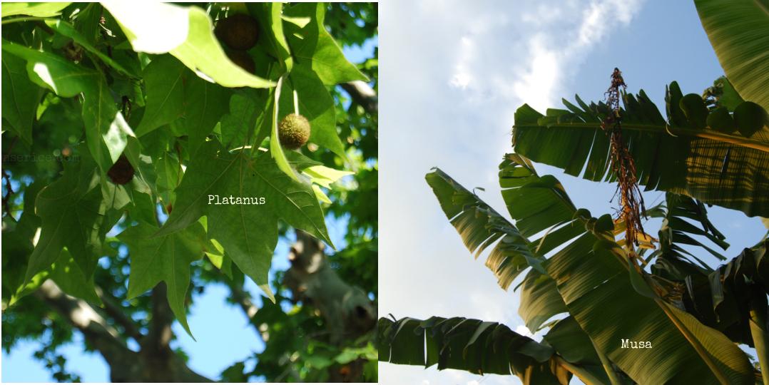 platanus-vs-musa