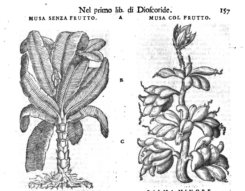 """Ilustraciones de """"Musa"""" en la edición de 1743 del Mattioli."""
